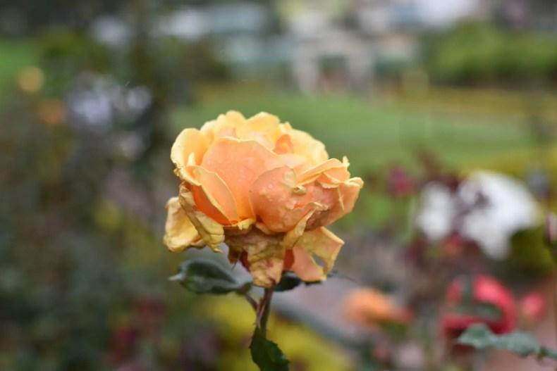 Rose Garden Ooty 30
