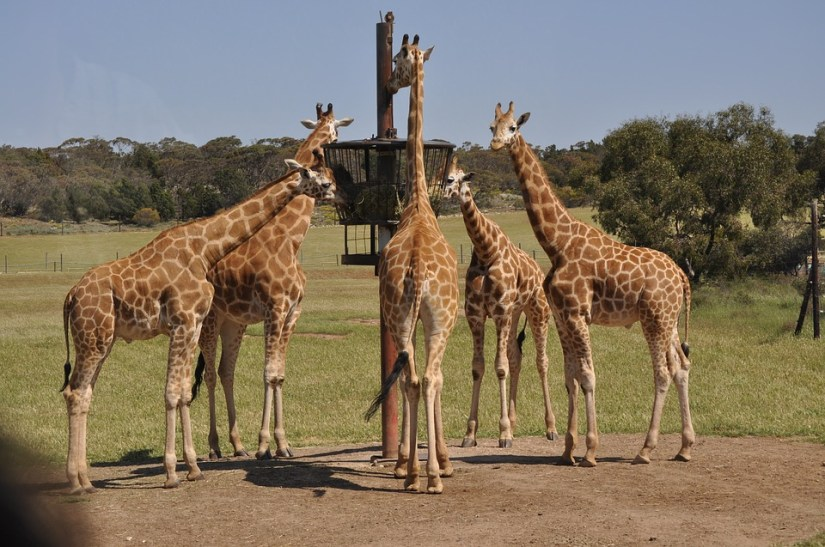 giraffes in Monarto Zoo