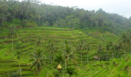 The famous Balinese Rice Terraces.