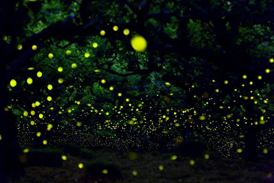 where do fireflies live