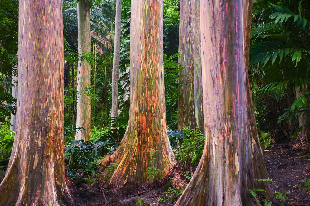 Rainbow Eucalyptus The Most Colorful Tree On Our Earth
