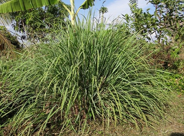 Lemongrass: Medicinal plants In India