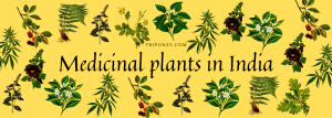 List of 15 Medicinal plants in India That you can grow in your Kitchen Garden