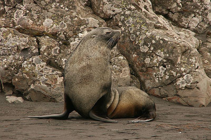 Southern Fur Seals Antarctic Animals