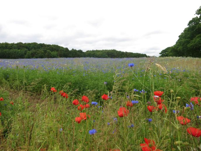 Kornblumenfeld bei Sellin