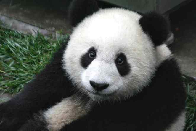 Giant Pandas are solitary creatures