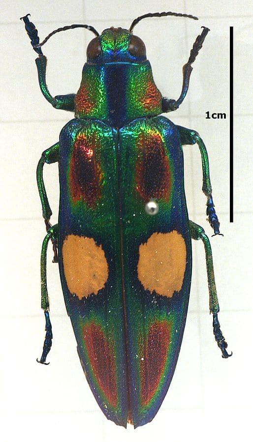 Jewel beetle or Chrysochroa Oceletta fulgens