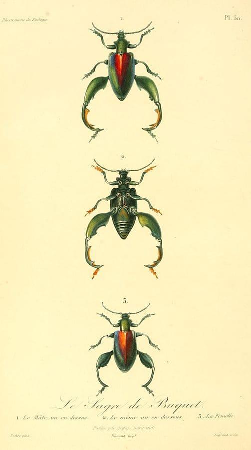 Sagra buqueti or Frog-legged Leaf Beetle