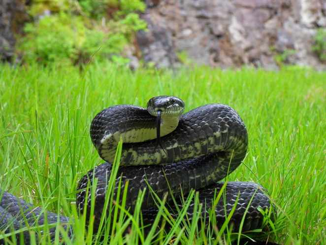 King Ratsnake