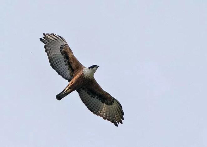 Rufous-bellied Hawk-Eagle