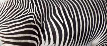 Zebra's Stripes