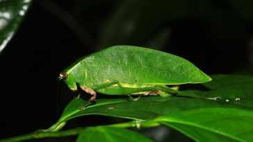False Leaf Katydid