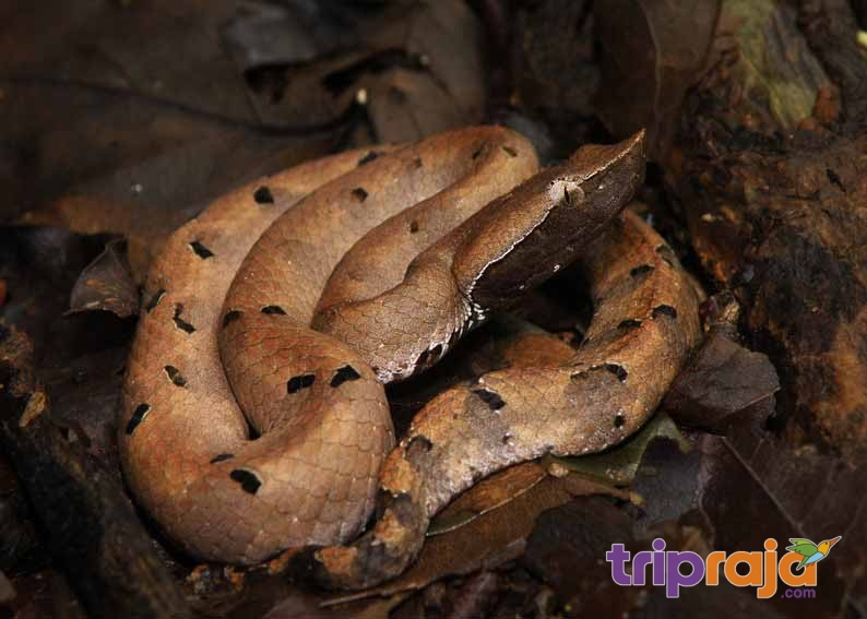 hump-nosed-pit-viper