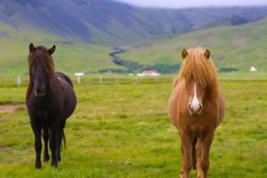 الخيول الآيسلندية
