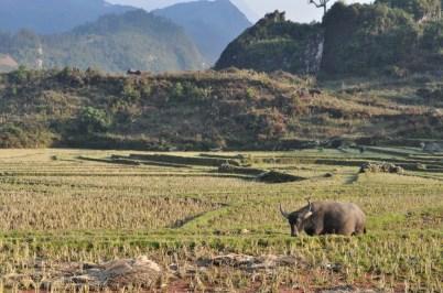 Landscape in Sapa with water buffalo