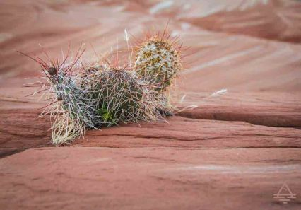 Cactus near Lake Powell.