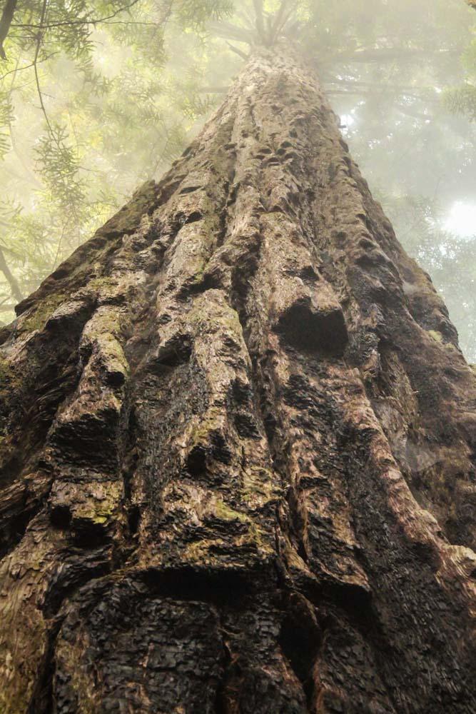 redwoods-4