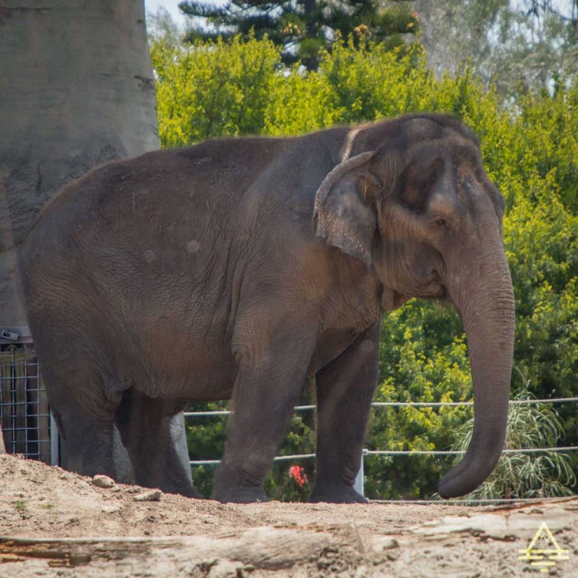 San Diego Zoo Elephants Exhibit