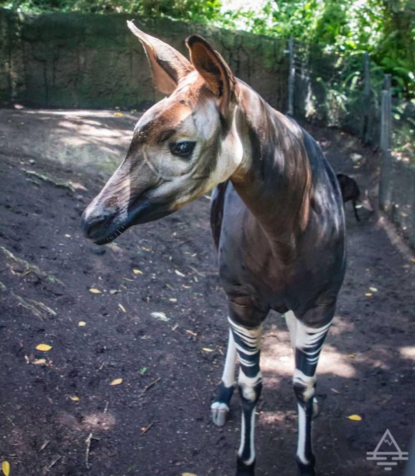 San Diego Zoo Inside Look Tour Okapi