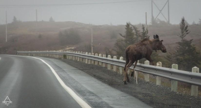 Moose crossing the highway