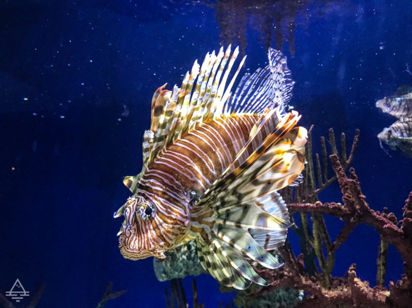Red Lionfish in the Tropical Diver Exhibit in the Georgia Aquarium