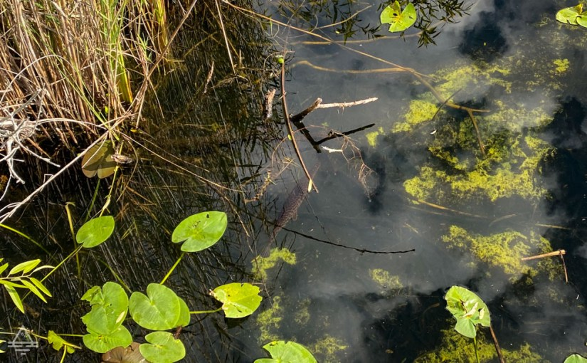 Clear water with lily pads and a fish in the Everglades