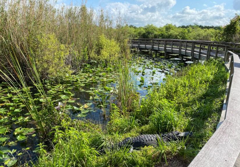 Alligator laying next to Everglades Anhinga Trail boardwalk