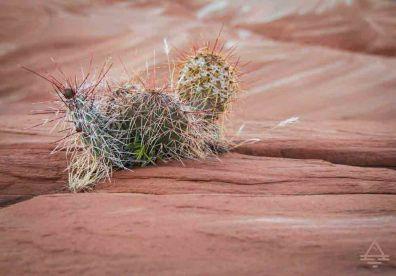 Cactus near Lake Powell.