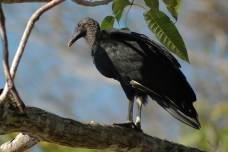 black vulture, MA
