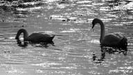 swans at sunset, Trafrask