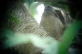three-toed sloth, MANP