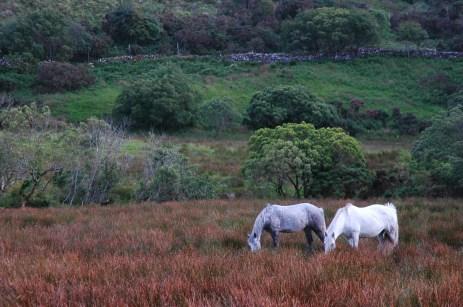 Connemara ponies, NP