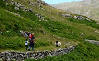 sheep on the trail, Killary
