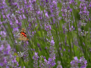 Butterfly and lavender, Hungary