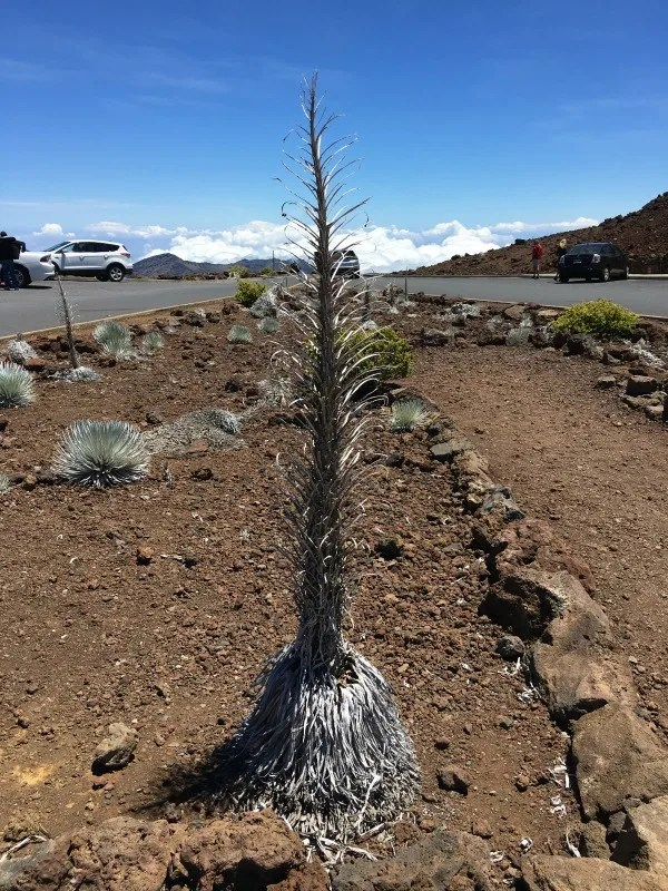 Haleakala National Park Guide and Tips - Ahinahina Silversword