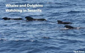 Tenerife Whales and Dolphins Watching, reservations, sea, boat trips, hotels, hoteles, Canary Islands, Islas Canarias, excursions, ballenas, delfines, alojamiento, car renting