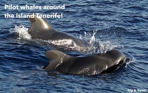 Playa de las Americas Whale Watching, tours, trips, excursions, Tenerife, cheap, events, reservations, restaurants, Puerto Colón, Puerto de la Cruz, hotels, tickets