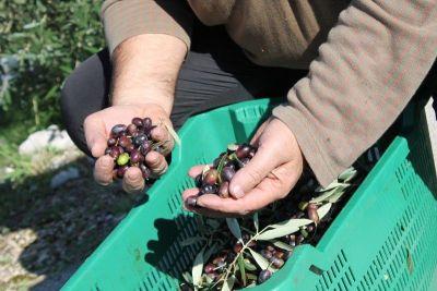 Hvidra započela berbu u masliniku ex vojarne Bribirski knezovi: Na 25 stabala 500 kilograma ploda