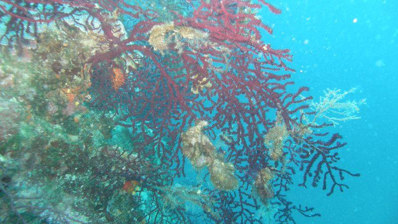 Emil Lemac – nove kolonije crvenog Jadranskog koralja na malim dubinama
