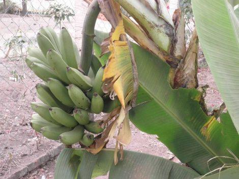 grozd banana