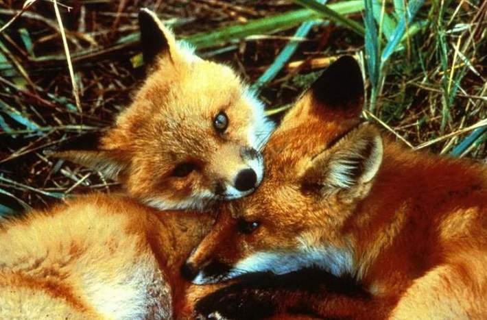 Smrtno je stradala jedna lisica, kažu