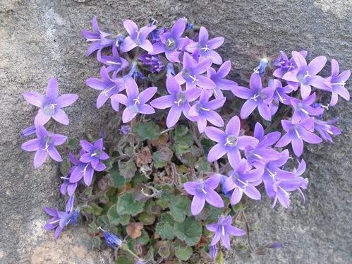 Cvijetna vijest: na otoku Visu otkriven Teutin zvončić – dosad nepoznata biljna (pod)vrsta