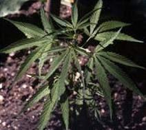 biljka_marihuana