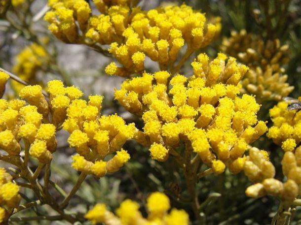 Žuti cvijetovi - tona za litru ulja (Wikipedia)