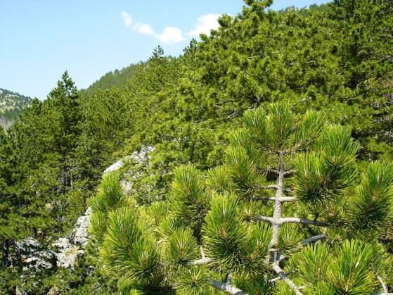 Uskoro u  budućnosti: od šume nećeš moći naći stablo sa svojim imenom Borova šuma: gdje je stablo koje se zove moje sta (izvor NP Krka)