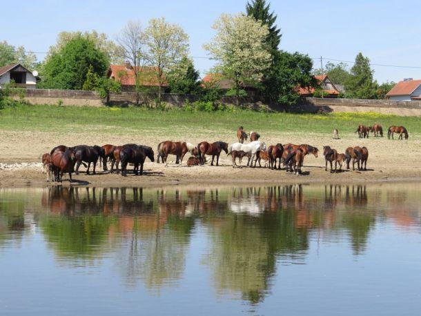 Lonjsko polje: Planirane hidroelektrane prijete i Parku prirode Lonjsko polje (foto: Mikuska Tibor/Hrvatsko društvo za zaštitu ptica i prirode)
