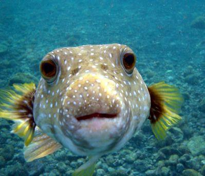 Pogled ove ribe je znakovit (foto Wikipedia)