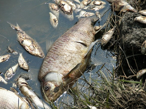 Mrtva riba u Meksičkom zaljevu (foto Greenpeace)