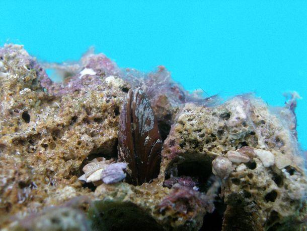 Prstac kojinije na tanjuru nego ispod mora, izvirio iz kamena (izvor Wikipedia)