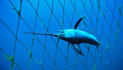 Svjetska organizacija za zaštitu prirode upozorava: mediteranska sabljarka je na rubu propasti